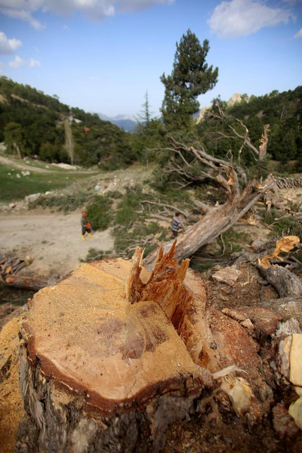Otomobil geçecek diye ağaçlar kesildi