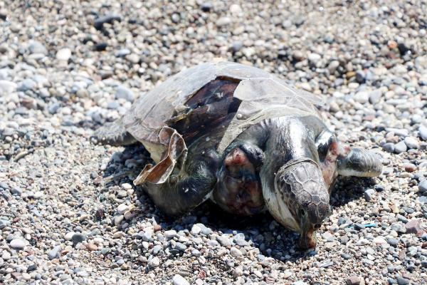 Kemer'de ölü caretta caretta sahile vurdu