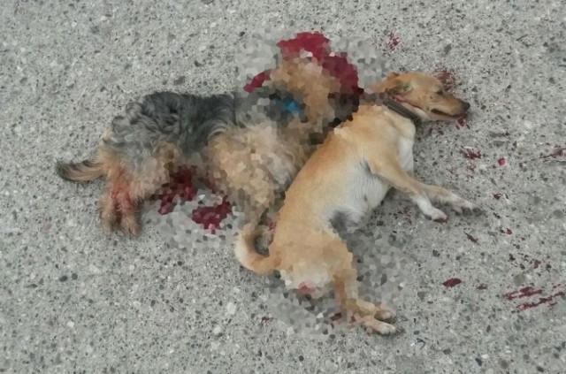 Kemer'de İki Köpeğin 'Kasten Ezildiği' İddiası