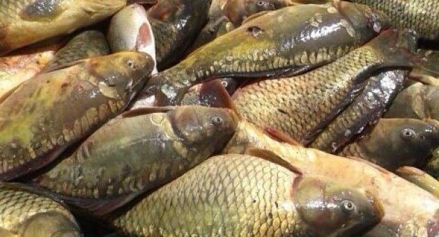 Kemer 'de Kaçak Avlanan Balıklar Açık Artırmayla Satıldı