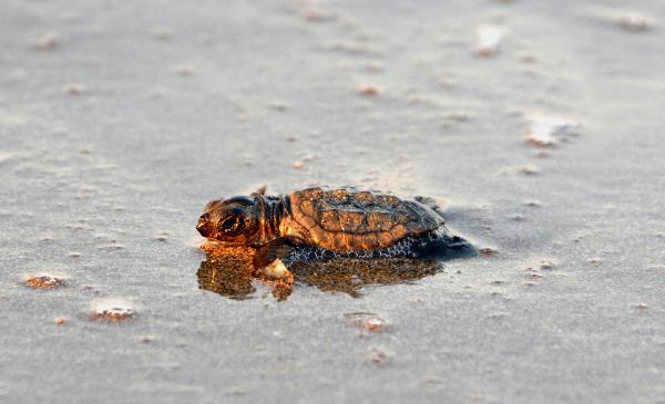 Dünyaca ünlü sahilde caretta caretta yuvaları yarıya düştü
