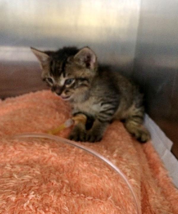 Yavru kedi, derisi yüzülüp ölüme terk edildi