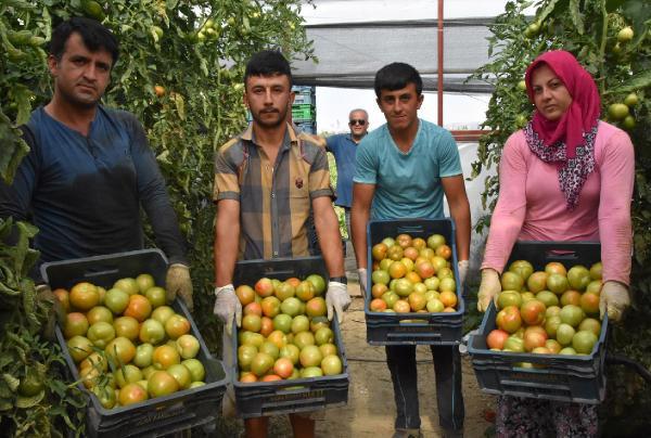 Yayla domatesi yeşil olarak ihraç ediliyor