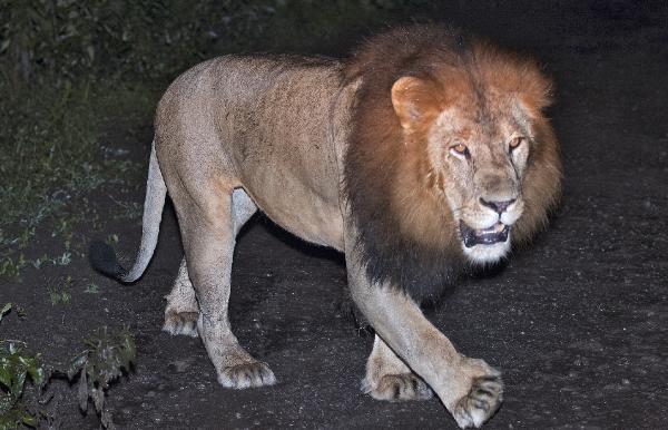 Etiyopya aslanını doğada ilk kez görüntüledi