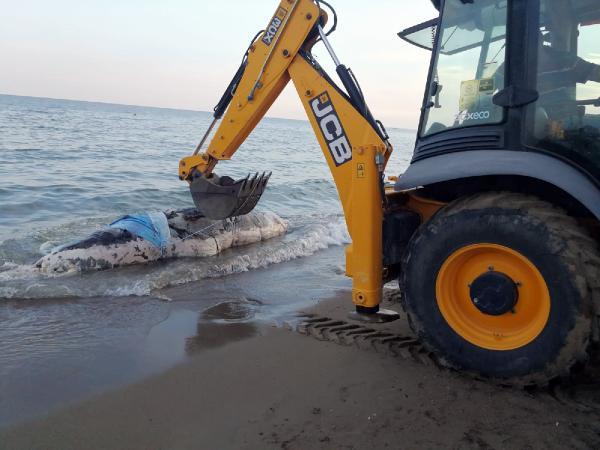 Balina ölüsü kıyıya vurdu