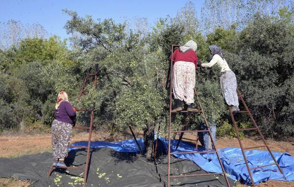 Zeytin ağacı ihracatındaki yasağın kaldırılması istendi