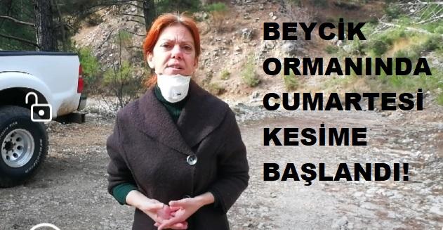 BEYCİK ORMANINDA CUMARTESİ KESİME BAŞLANDI!